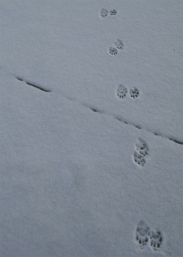raccon-tracks-smaller.jpg