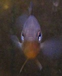 small-pumpkinseed-triptych-2-08_01_03-on-the-ice-and-in-the-aquarium-037.jpg