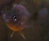 small-pumpkinseed-triptych-3-08_01_03-on-the-ice-and-in-the-aquarium-036.jpg